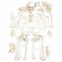 Ongemonteerd Model van het Menselijk Skelet