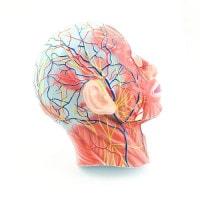 Schedelmodel met spieren en bloedvaten
