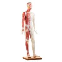 Levensgroot acupunctuurmodel