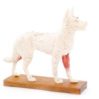 """Acupunctuurmodel """"Hond"""""""