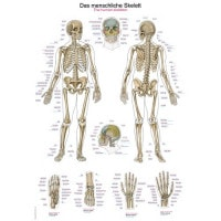 """Anatomische Wandplaat """"Menselijk Skelet"""""""