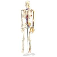 Anatomisch skeletmodel