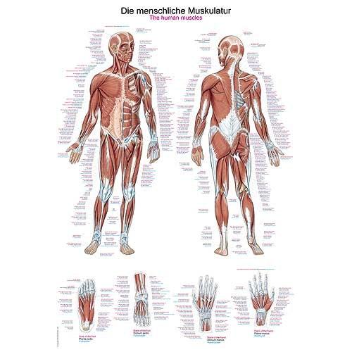 https://www.praxisdienst.nl/out/pictures/generated/product/1/800_800_100/372072_lehrtafel_menschliche_muskulatur.jpg