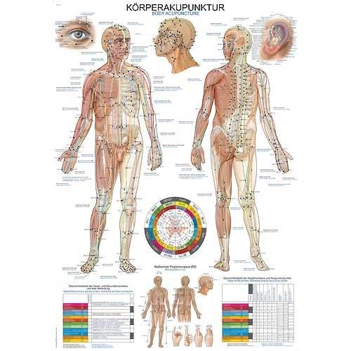 """Anatomische Wandplaat """"Lichaamsacupunctuur"""""""