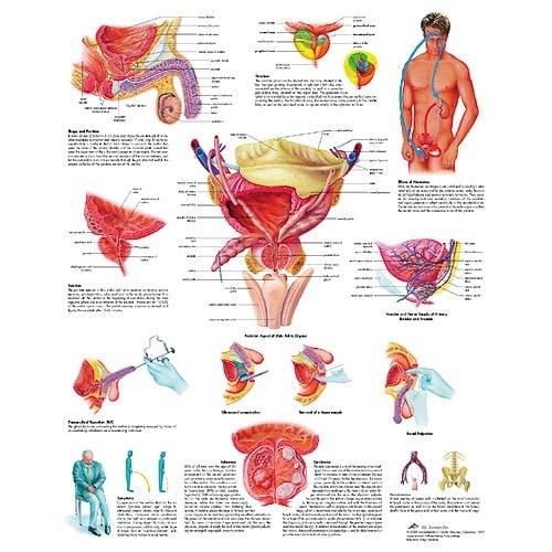 """Anatomische Wandplaat """"Prostaat"""""""