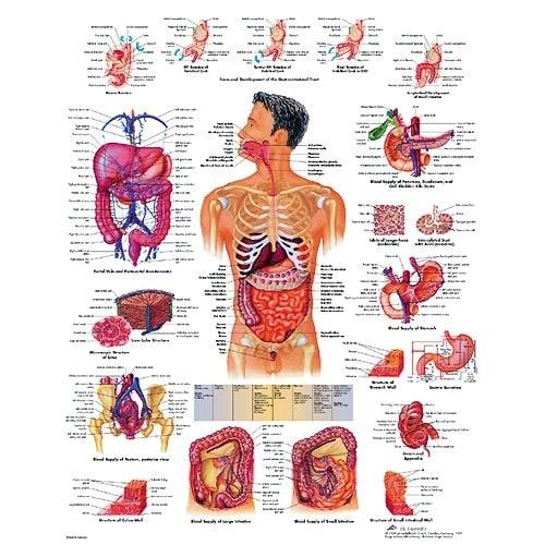 """Anatomische Wandplaat """"Het Spijsverteringssysteem"""""""