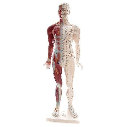 Menselijk Acupunctuurmodel