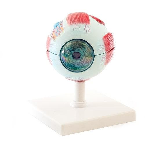 6-delig oogmodel, demonteerbaar
