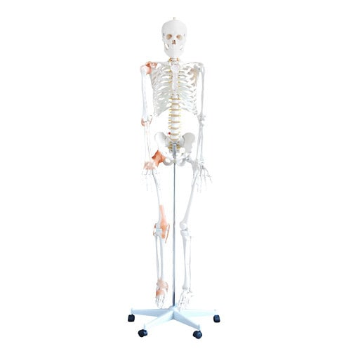 Flexibel skeletmodel