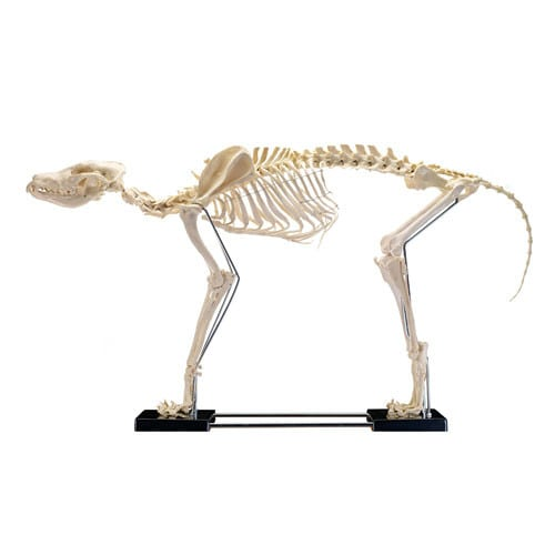 Model hondenskelet