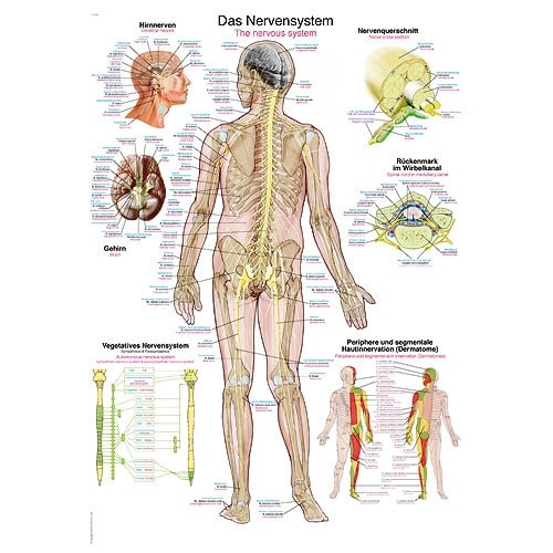 """Anatomische Wandplaat """"Het Zenuwenstelsel"""""""