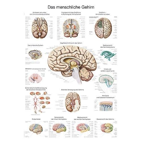 """Anatomische Wandplaat """"De Hersenen"""""""
