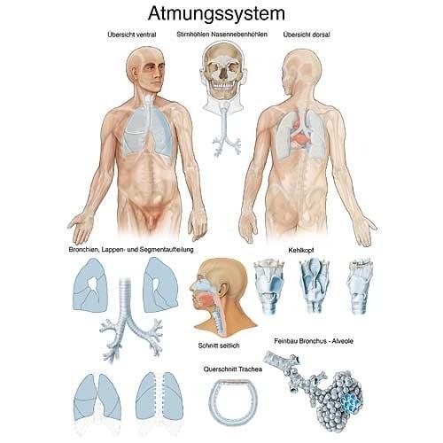 """Anatomische Wandplaat """"Ademhalingsorganen"""""""