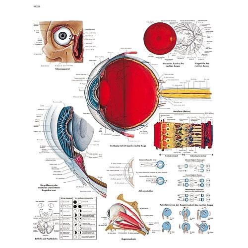 """Anatomische Wandplaat """"Het Menselijk Oog"""""""