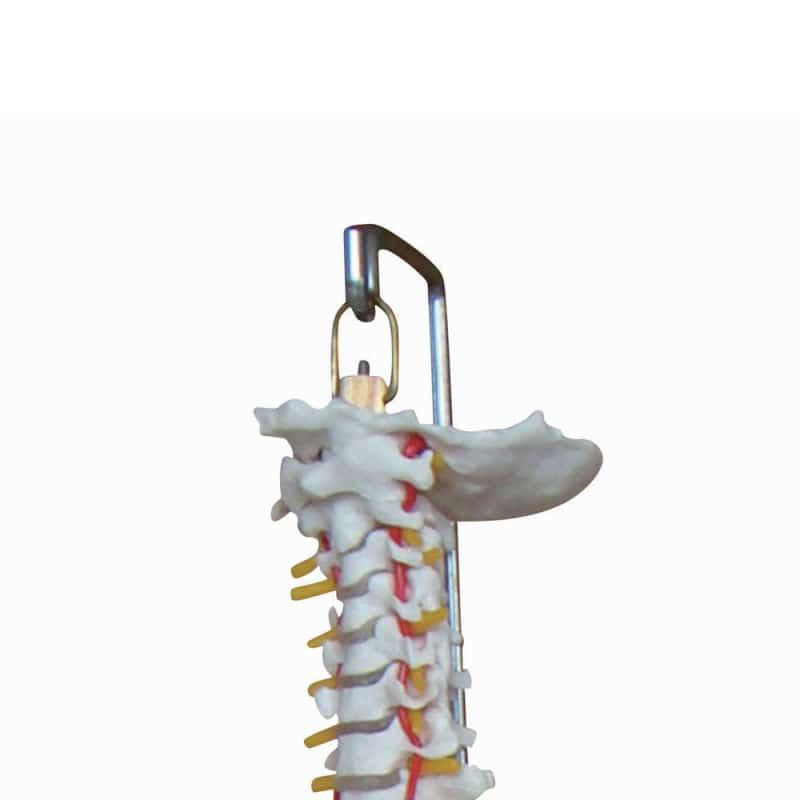 Model van een wervelkolom met bekken