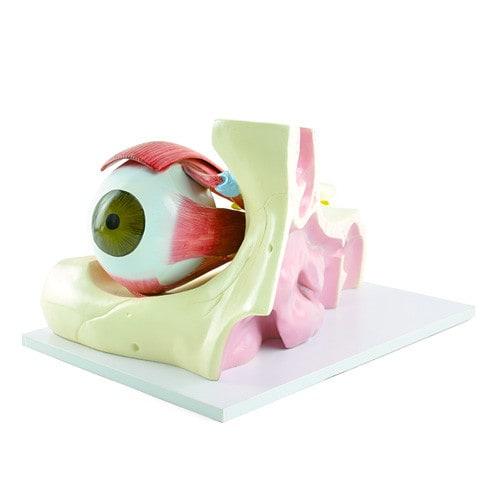 Model van de oogmusculatuur