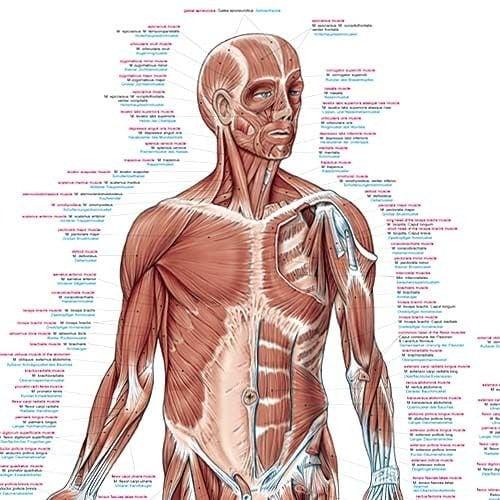 """Anatomische Wandplaat """"Spieren Van De Mens"""""""