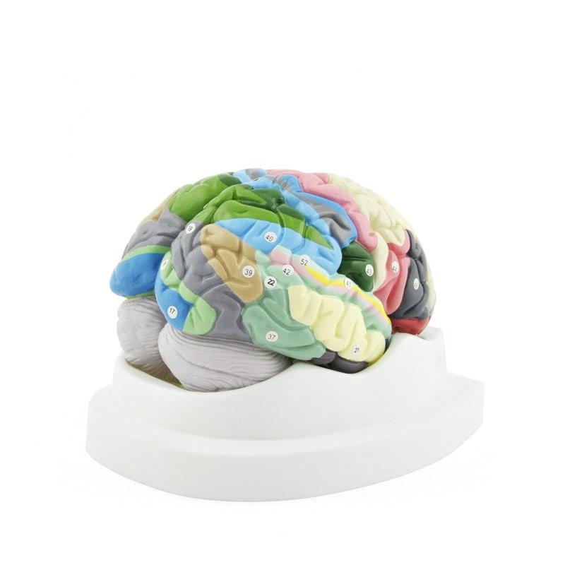 Hersenmodel