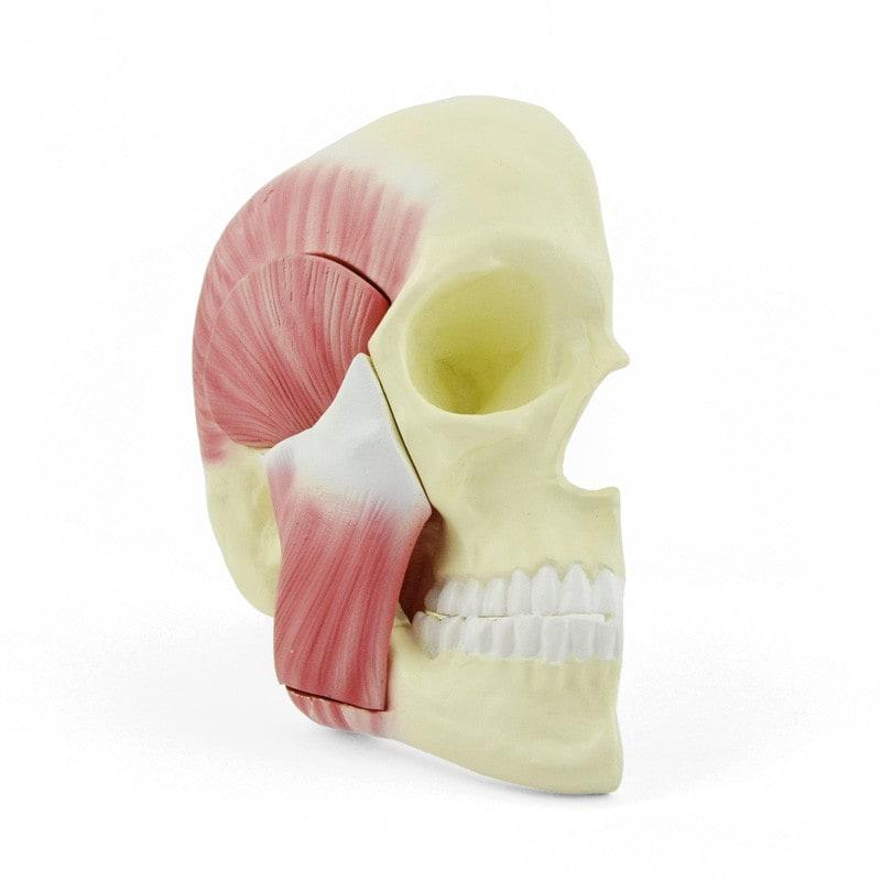 Schedelmodel met kauwspieren