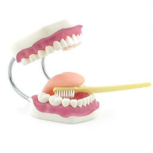 Gebitverzorgingsmodel met Tandenborstel