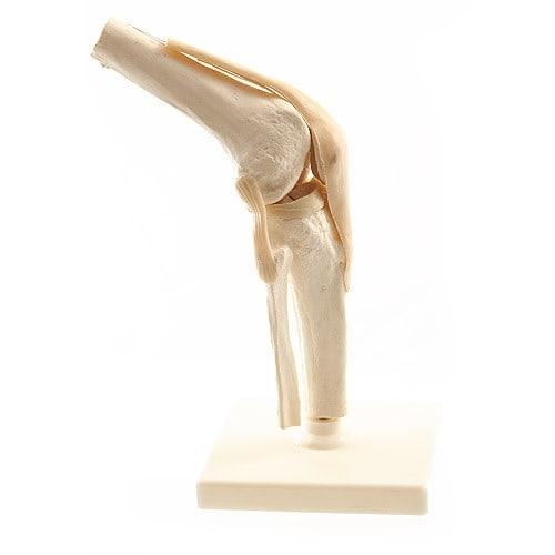 Model van de menselijke knie