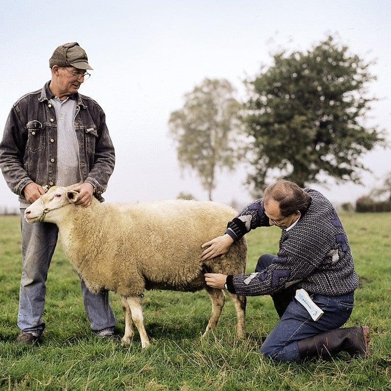 Drachtigheidsdiagnoseapparaat voor schapen en geiten