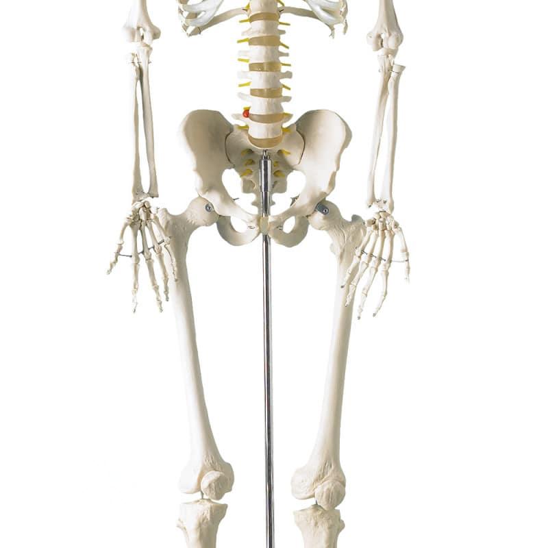 Menselijk skelet van natuurgetrouwe afmetingen