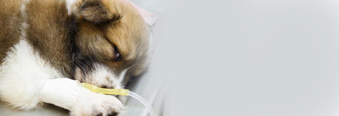 Infusieoplossingen voor dieren